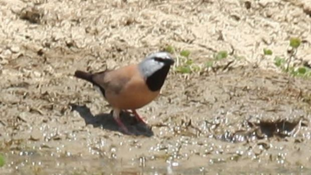 The southern black-throated finch could be brought to the brink by coal-mining developments.