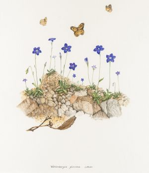 Royal bluebell, wahlenbergia gloriosa, 1987 watercolour on paper.