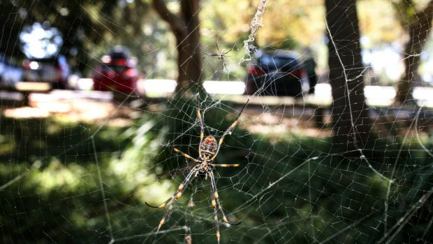 SMH News story by Peter Hannan. Sydneys spiders more active durring the current hot weather. Photo: Peter Rae Monday 7 ...