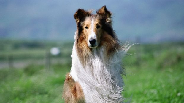 Lassie was one of three dogs to receive a star on the Hollywood walk of fame.