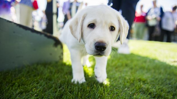 An eight-week old Labrador puppy, who is about to begin guide dog training.