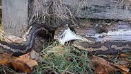 A carpet python after devouring a cat at Sunnybank Hills, south of Brisbane