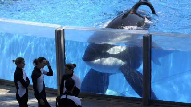 Tilikum was aged about 36 and has been sick for the past year.