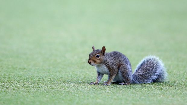 Furry friend: This squirrel held up proceedings at Newlands for a while.