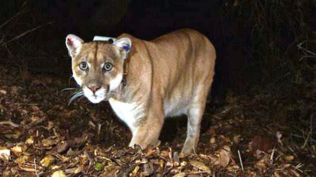 The suspect: The mountain lion known as P-22, in a file picture.