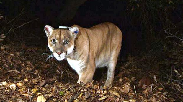 The suspect: The mountain lion known as P-22.