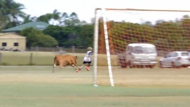 A young bull interrupts a junior football match in Maryborough on the weekend.