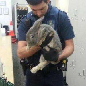 A rabbit seized by police Springwood, south of Brisbane. The owners claimed it was a guinea pig.