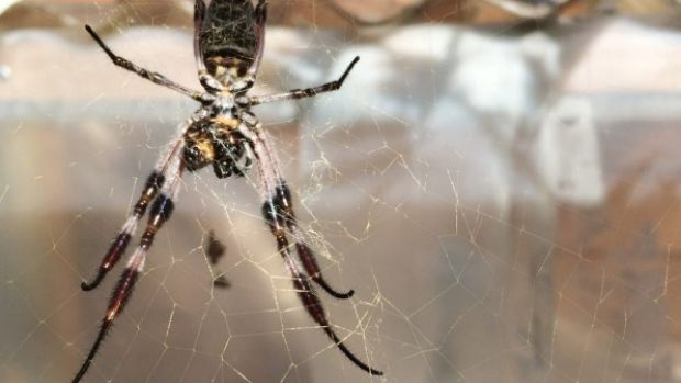 The sheen of the golden orb's web is clear in the sunlight.