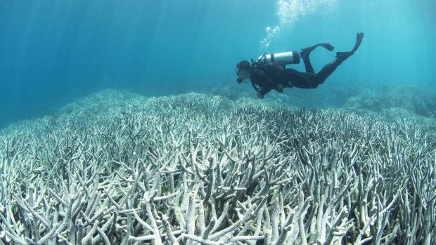 A diver checks out the bleaching on the Great Barrier Reef.