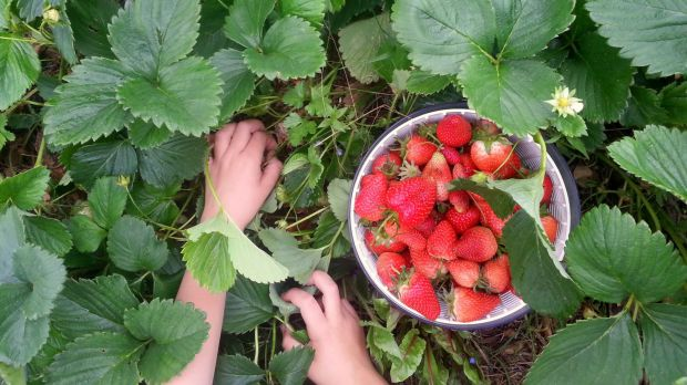 Home-grown organic strawberries.
