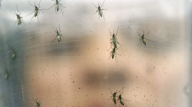A researcher holds a container of female Aedes aegypti mosquitoes at the Biomedical Sciences Institute at Sao Paulo ...