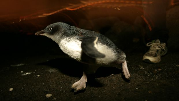 A penguin at the end of St Kilda pier.
