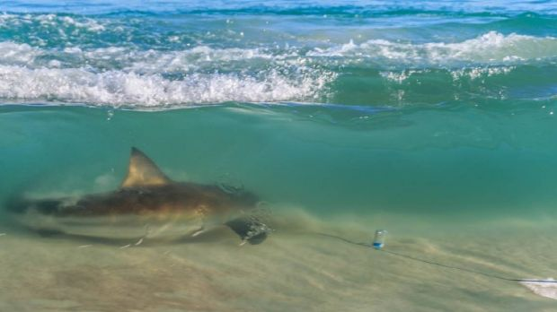 Most of the sharks spotted off Victoria are believed to be bronze whalers.