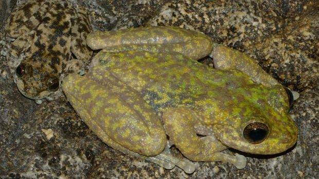chytridiomycosis and possible frog extinction Darwin's frogs ( rhinoderma darwinii and r rufum ) are two species of mouth brooding frogs from chile and argentina that have experienced marked population declines.