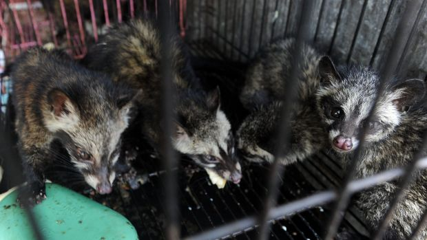 World Animal Protection says many caged civets show signs of stress and disease.