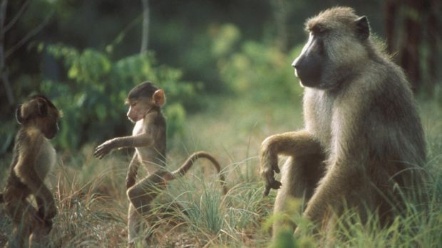 The early loss of a mother and having a close-in-age younger sibling are particularly tough for baboons.