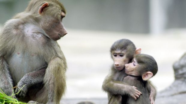 Baboons that experienced three or more kinds of adversity had a life expectancy 10 years shorter than those that ...