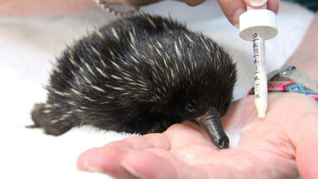 Feeding time: Bonsai, the baby echidna feeds from Annabelle Sehlmeier's hand, only stopping to blow milk bubbles out its ...