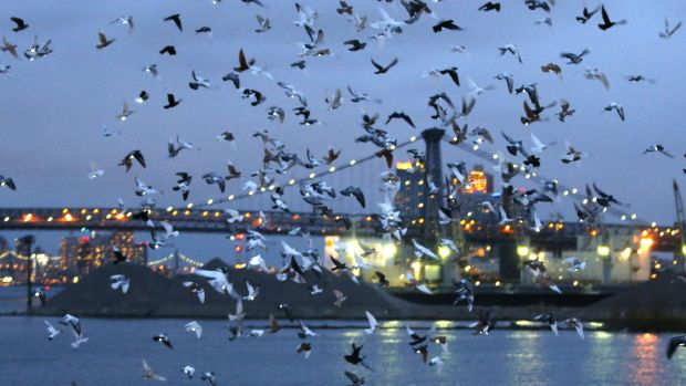 Pigeons wearing LED lights fly over the East River at dusk as part of Fly By Night.