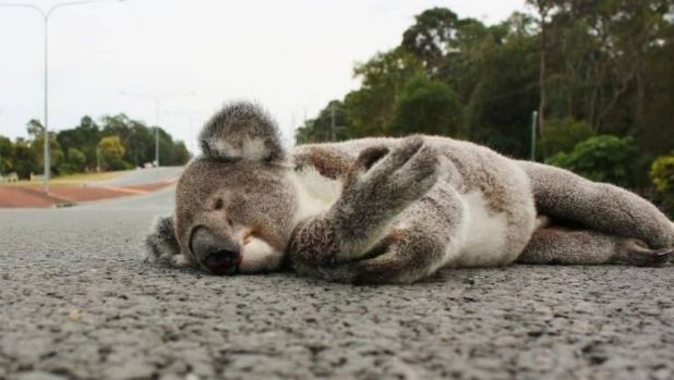 The dead koala on the road side at Redland Bay Road.