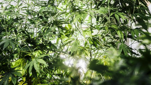 More than $6 million of hydroponic cannabis has been seized following a string of police raids across Perth.
