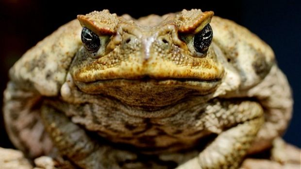 First Queensland, then Australia. The cane toads are on the march.