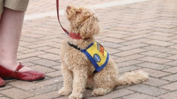 Assistance or service dogs come in all shapes and sizes and are legally allowed into all public places.