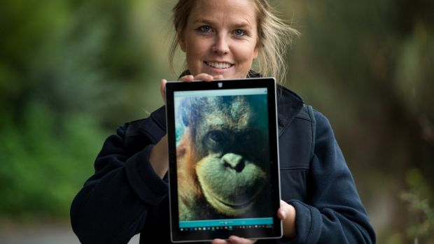 Dr Sally Sherwen and colleagues have been using interactive iPad games with Melbourne Zoo's orang-utans. She is holding ...