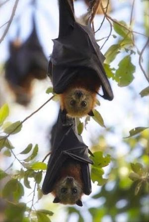 Cute flying foxes may be, but residents all over Queensland have little patience for colonies in their backyards.