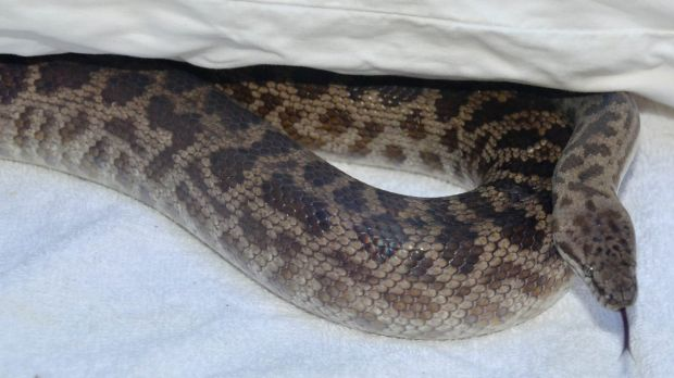 The Trinity Beach resident was bitten by a spotted python.