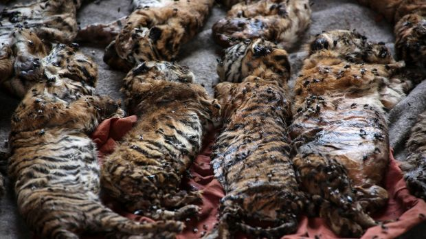 The carcasses of 40 tiger cubs found undeclared on display at the Tiger Temple.
