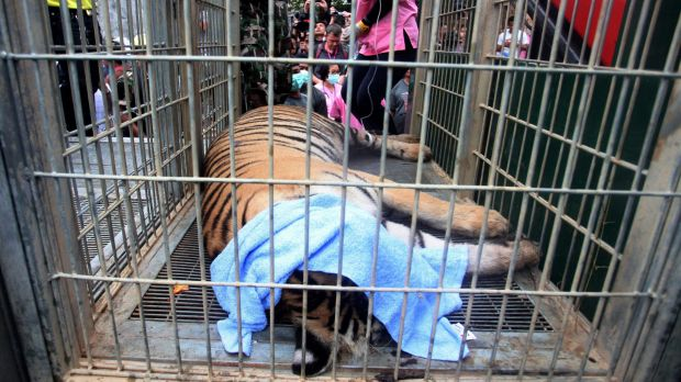 A sedated tiger lies in a cage at the Tiger Temple. Police investigating the temple found what they believe was a ...