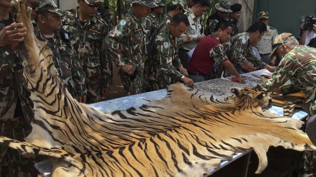 National Parks and Wildlife officers examine the skin of a tiger at Kanchanaburi's Tiger Temple, which is alleged to ...