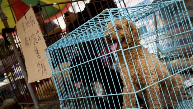 Thousands of dogs in Yulin are expected to be sold for slaughter and consumption.