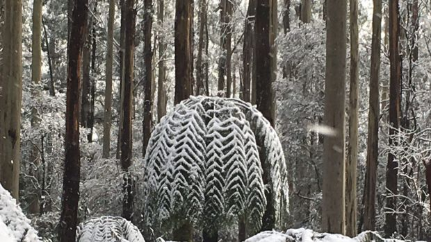 Snow at Lorne on Friday.