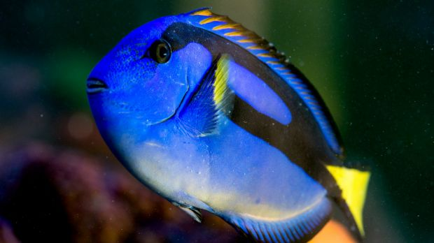 Fears 39 finding dory 39 pet demand could threaten royal blue for Royal blue tang fish