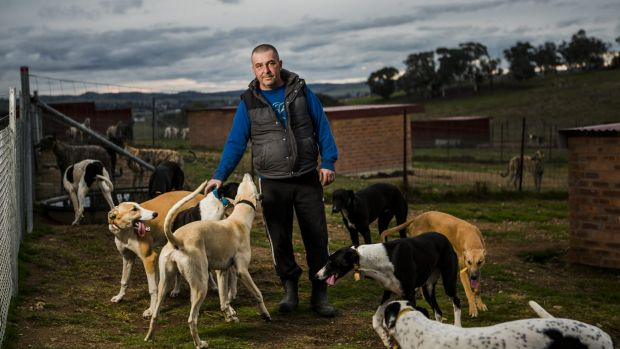 P Young Greyhound Trainer Investigation into Can...