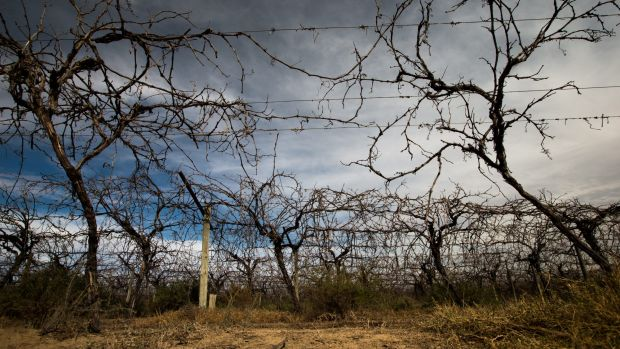 Dried up vineyards near Menindee, NSW hit by drought in 2016.