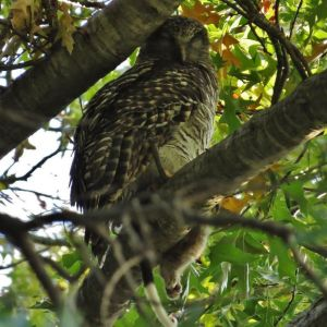 Turner's Powerful Owl (and possum meal) in its Autumnal tree.
