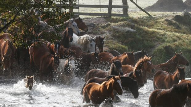 Running of the Horses a Glenworth Valley in 2015.