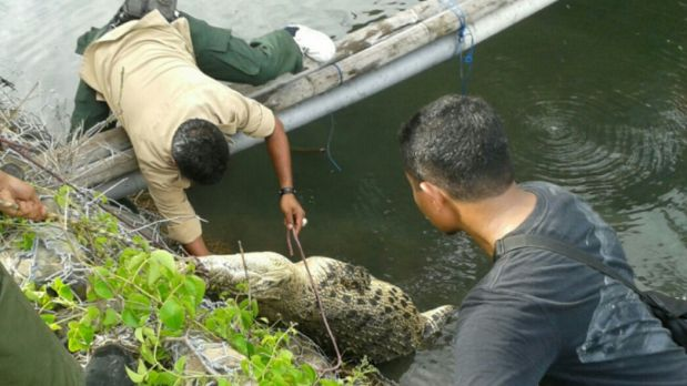 The Natural Resources Conservation Agency capturing a crocodile at Lasiana beach in Kupang.