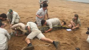 Chandler Powell secures the tail of the crocodile while Bindi Irwin helps measure the animal and Terri Irwin secures the ...