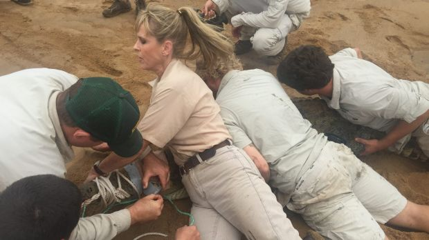 Terri Irwin (left) and Chandler Powell jump on Stanley, a 10-foot freshwater crocodile being tagged as part of research ...