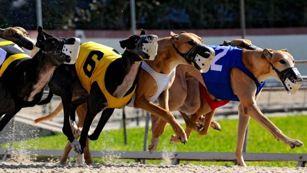 Three greyhounds were put down after suffering racing injuries in Canberra in less than a month.