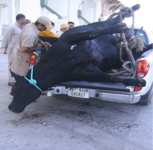 After being unloaded into  a truck in Libya, this bull escaped into the water,  but died after being hit by a container ship.