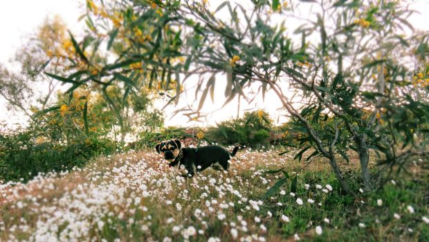 WA's wildflower bloom is drawing in all manner of visitors.