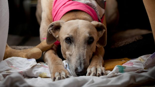 """Rescued greyhound Till. Chief Minister Andrew Barr has described any ban reversal as """"disappointing"""" and concerning."""