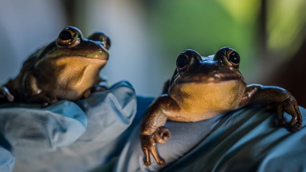 Frogs' absolutely ribbeting chat will be captured by a new invention created a University of Canberra. Two endangered ...