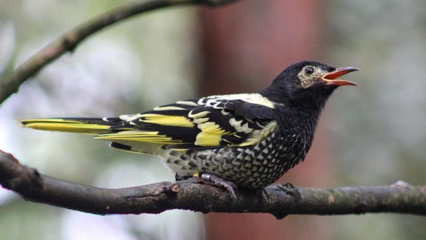 About a third of NSW's bird species, including the regent honeyeater, are endangered and offsets may not be able to halt ...
